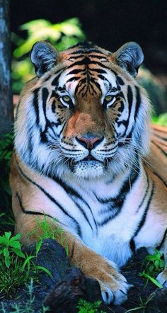 Wery wery thanks,Dear Friend /vKkgoCfLSYYou can find Big cats and more on our website.Wery wery thanks,Dear Friend /vKkgoCfLSY Tiger Pictures, Animal Pictures, Tiger Images, Nature Animals, Animals And Pets, Nature Nature, Beautiful Cats, Animals Beautiful, Cute Baby Animals