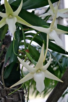 Garden Bytes from the Big Apple: SPECTACULAR ORCHID SHOW, NYBG. Extremely rare Darwin star orchid
