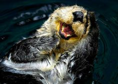 laughing otter