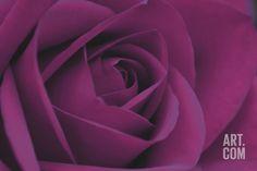Persian Purple Rose Art Print by John Harper at Art.com