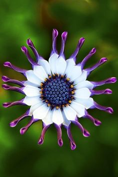This purple and white African daisy is a real attention-getter