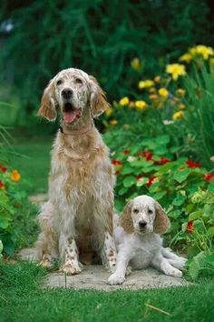 English Setter & Her Pup ~ Classic Look ~ (Lawerack/ Laverack/ Llewellin /Blue Belton) Animals And Pets, Baby Animals, Cute Animals, I Love Dogs, Cute Dogs, English Setter Puppies, Labrador, Sweet Dogs, Dog Rules