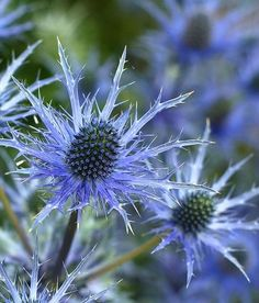 Here is a list of plants for an All Blue Garden. This would be gorgeous! Maybe each bed in the garden could be monochrome, one yellow, one blue, one white, one red, one green. A sun loving monochrome and a shade monochrome. . .