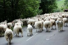 Great Pyrenees herding sheep.