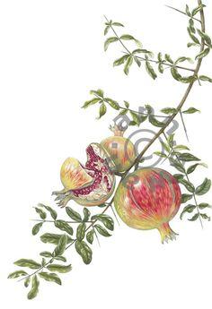 Ann Swan - Pomegranates