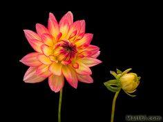 To make this photograph of a dahlia a bit more interesting I included one of the buds.