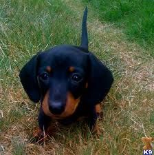 you play with me? #cute #doxie #puppy #dachshund