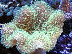 neon green Fiji leather Coral - Google Search