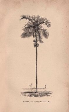 Travels in the East Indian Archipelago. - Biodiversity Heritage Library -- betel nut palm