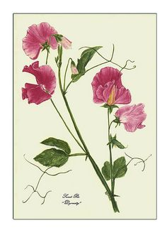 how to draw sweet pea flowers