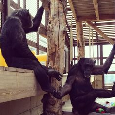 Day 69 - Friends just hanging out. Jody #chimpanzee, on the right, is holding Foxie's foot. #100HappyDays #chimpsanctuarynw