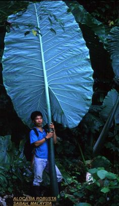 I would LOVE to see ONE of my Thai Giants do this, this year. Not going to happen, sadly. Unusual Flowers, Unusual Plants, Rare Plants, Exotic Plants, Big Leaf Plants, Foliage Plants, Trees To Plant, Tropical Garden, Tropical Plants