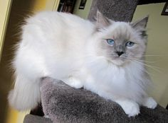 Sweet Ragdoll...best cats in the world!