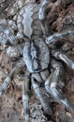 Huge (120 mm tip to tip) and likely very fast and poisonous, the Tiger Spider (Poecilotheria rajaei) from Sri Lanka is the perfect arachnophobe's nightmare. Usually lives in trees but is known to creep in houses every now and then.