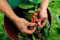 It takes 5 years for a coffee tree to mature. A day's wage for many of those who harvest the beans on the hillsides of South America? Equal to about the price of a tall latte in the U.S., says Mark Pendergrast, author of the book Uncommon Grounds. Some 125 million people worldwide depend on the coffee harvest for income.