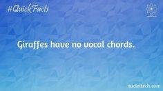 fGiraffes have no vocal chords.