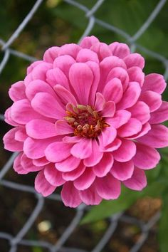 Giant Zinnia.....Grows upt to 4-5 ft. Grow along fences, sheds, walls, etc. They love Sun!