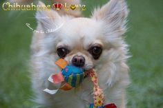 Chihuahuas Love - Chihuahuas-Love, Siguenos en Instagram. Fotos de Chihuahuas.