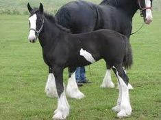 Image result for clydesdale horses