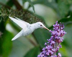 A rare albino hummingbird in Virginia