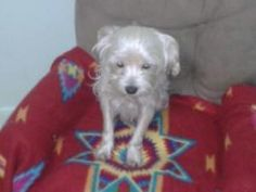 Lilly is an adoptable Maltese Dog in St. Augustine, FL. Sweet, happy and healthy!...
