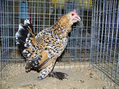 belgian_bearded_d'uccle_bantam_hen Belgian Bearded d' Uccle (pronounced dew-clay) Bantams have many qualities desirable in an individual or family pet. Originally from the jungles of Java, the breed combines the exotic qualities of a parrot with the temperament, ease of upkeep, and low cost of a domestic chicken. Their bantam size make them ideal for a metro backyard farmer.