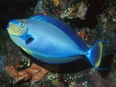 New assessment finds parrotfish and surgeonfish facing heightened risk of localized extinction Unicorn Fish, Tang Fish, Deep Blue Sea, Saltwater Aquarium, Ocean Life, Underwater, Animals, Creatures, Friends