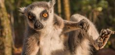 Ring-tailed lemurs engage in stink-flirting to attract mates: Male lemurs perform a mating ritual involving the spraying of a stinky scent.…