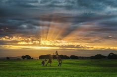 Boxing kangaroos at sunset
