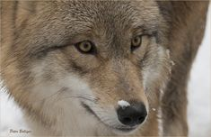 Don't squint, the snowflake will melt right away | Mongolian wolf - Zoo Zürich