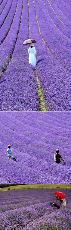 The growing and distilling of lavender (Lavandula vera) was an important industry for many years.The lavender is harvested in August when the oil was at its best. The women would cut the lavender a…