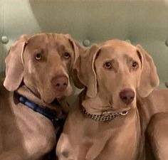 Two happy rescued Weimaraner. In love Blitz & Elsa New Sibling, One Year Old, Weimaraner, Beach Day, Siblings, Pretty Girls, Elsa, Labrador Retriever, Puppies
