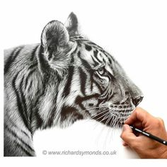 WANT A SHOUTOUT ? CLICK LINK IN MY PROFILE !!! Tag #DRKYSELA Repost from @richardsymondsartist 'Kai' the tiger in graphite pencil #repost of an old favourite #tiger #pencil #drawing #art #artist #wip #cat #bigcat #india #wildlife #graphite #pic #picture #gallery #picoftheday via http://instagram.com/zbynekkysela