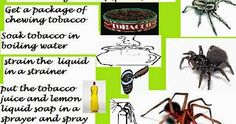 http://seeingspiders.blogspot.in/2014/04/using-tobacco-as-natural-remedy-to-get.html#.WGio_rZhmt8