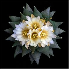 CAC226 | Ariocarpus retusus | Richard Reynolds | Flickr