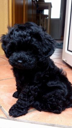 Black Shih Poo Puppies I want! Shih Poo Puppies, Cute Dogs And Puppies, Little Puppies, Doggies, Cockapoo Puppies, Teacup Poodle Puppies, Tea Cup Poodle, Terrier Puppies, Cute Little Animals