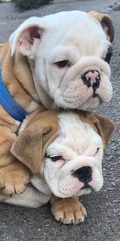 English Bulldog Puppies, British Bulldog, English Bulldogs, French Bulldog, Cute Puppies, Cute Dogs, Dogs And Puppies, Cute Babies, Bulldogs Ingles