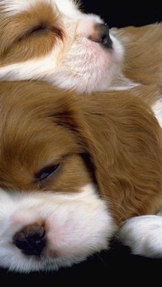 5 Sweet new born puppies sleeping.or two, few-weeks-old puppies… Cute Puppies, Cute Dogs, Dogs And Puppies, Newborn Puppies, Fluffy Puppies, Spaniel Puppies, Doggies, King Charles Spaniel, Cavalier King Charles