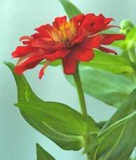 Bright Red Zinnia