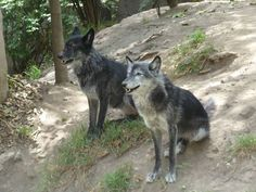 canadian wolves | canadian timber wolves chapultepec zoo