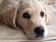 30 Best English goldens images in 2013 | Golden retrievers, English