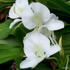 9 Best Flowers Of Hawaii Images Hawaian Islands Hawaii Hawaiian
