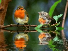 New Robin Bird Pictures Sweets Ideas Cute Birds, Pretty Birds, Small Birds, Little Birds, Colorful Birds, Beautiful Birds, Animals Beautiful, Beautiful Pictures, Robin Bird Picture