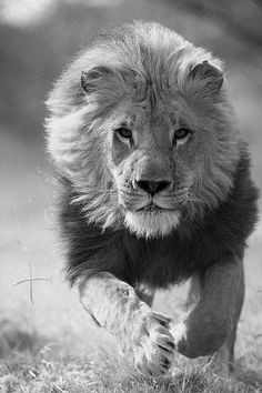 King's Gallop.  He's on His way!  This  photo makes me think of the Lion of the Tribe of Judah!