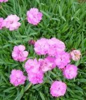 "Hvozdík sivý ""Senior"" - Dianthus gratianopolitanus"