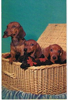 Doxie post card.