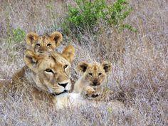 Marathon, Lion, Animals, Leo, Animales, Animaux, Marathons, Lions, Animais
