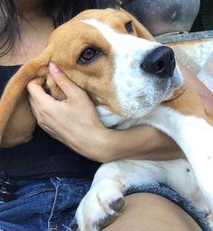 beagle CATARIN #beagle CATARINA