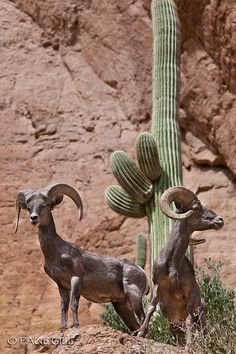 Two Male Desert Bighorn Rams, Bronco Butte, Superstition Wilderness, Arizona