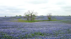 "Ennis, Texas, ""Field of Dreams"" bluebonnets"